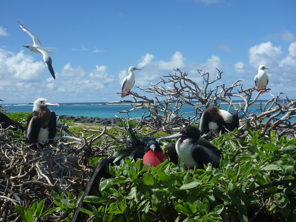 great frigatebirds and red-footed boobies