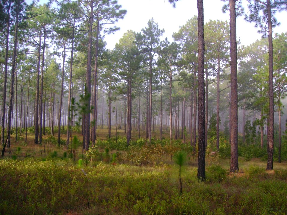SC Mature open stand of longleaf pines, carolina Sandhills Nwr