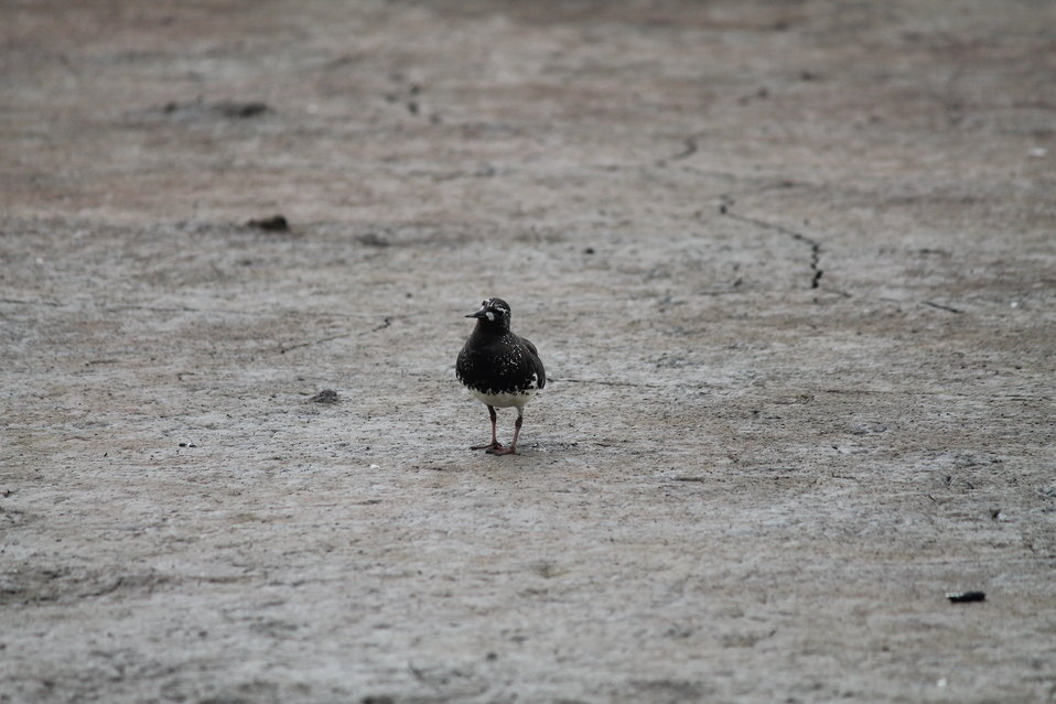 Curious Black turnstone