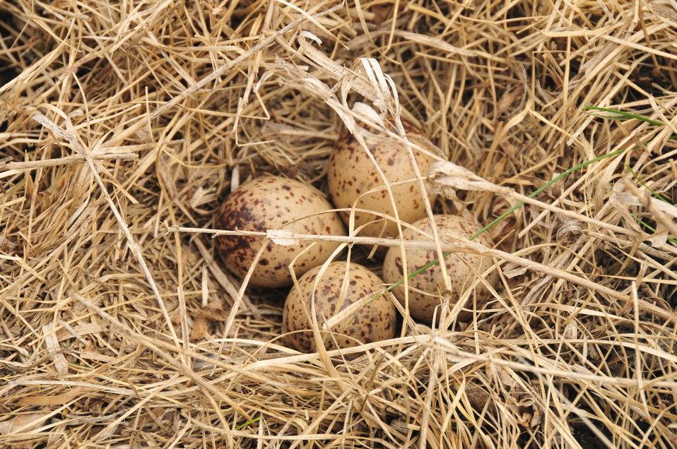 Upland Sandpiper Nest