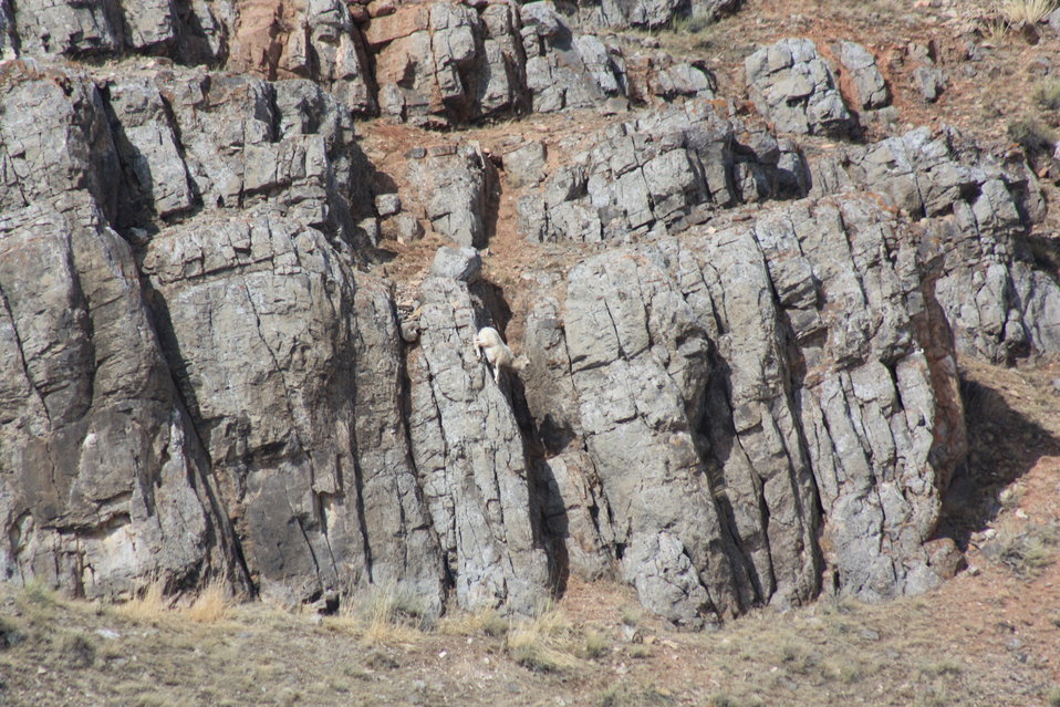 Bighorn Sheep on Miller Butte