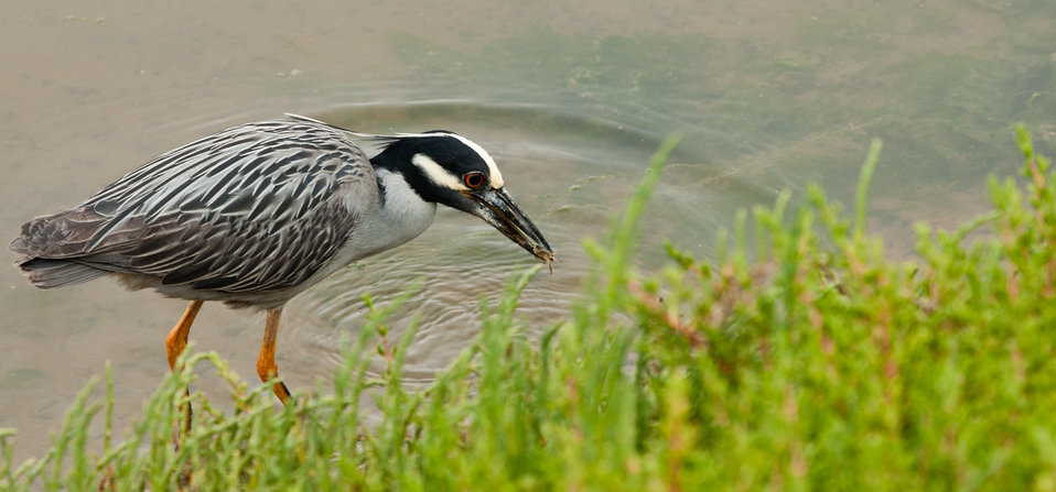 Yellow crowned night heron (Nyctanassa violacea) catching a crab