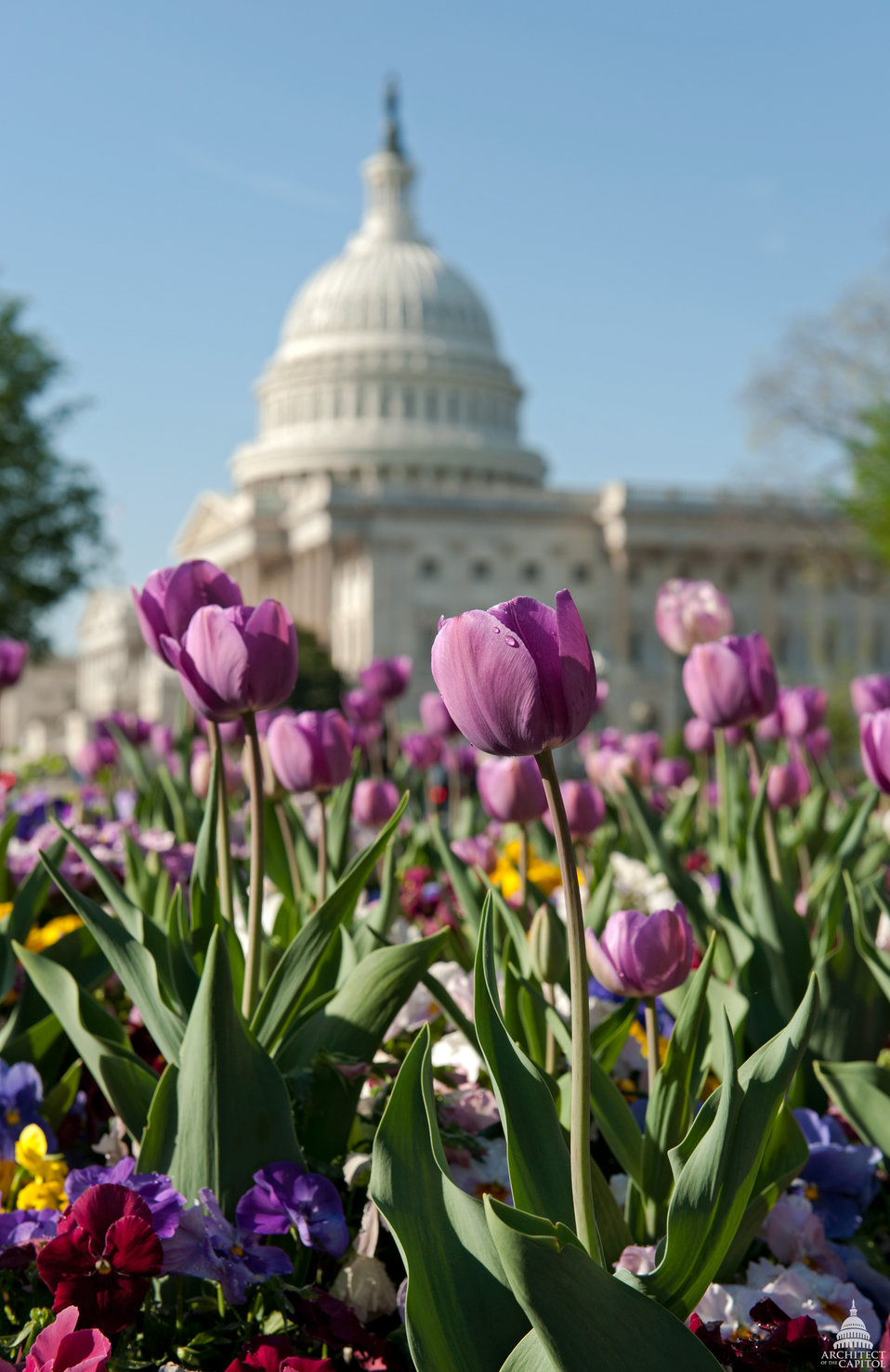 Tulips in Bloom on the U.S. Capitol Grounds