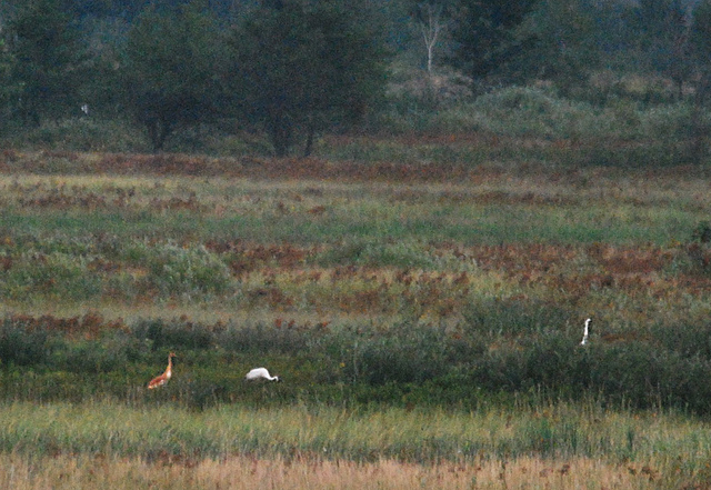 whooping crane wild-hatched chick