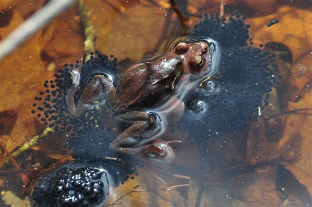 frog with eggs in a vernal pool