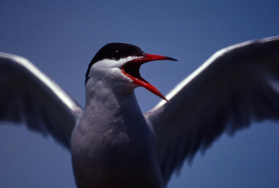 Common tern angry