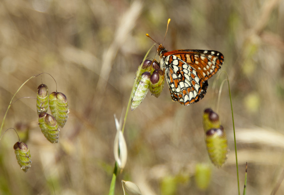 Chalcedon Checkerspot Butterfly 1