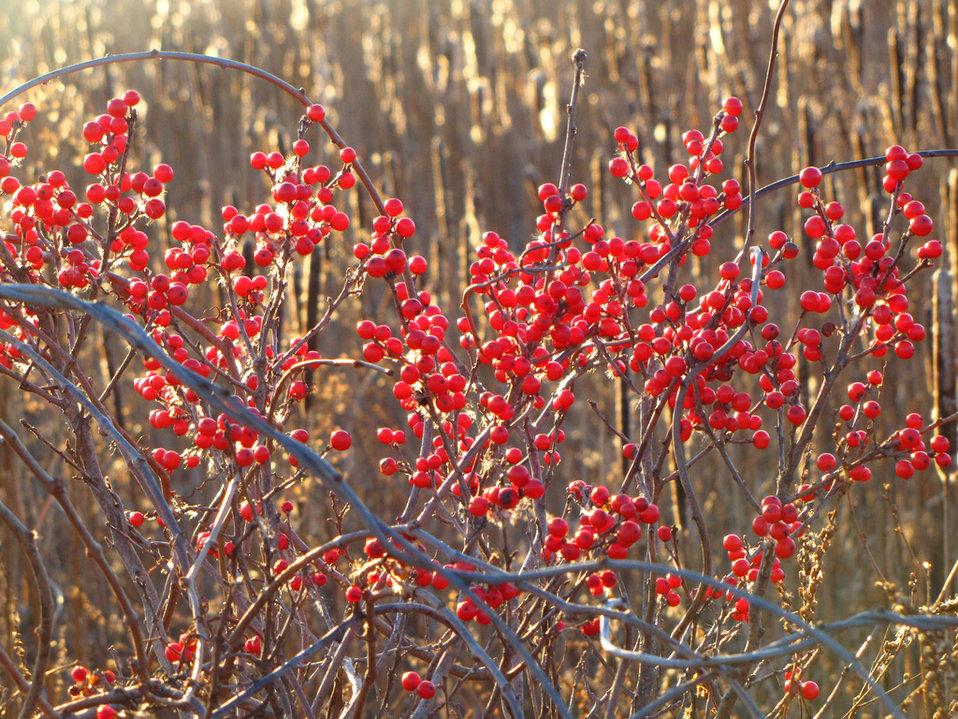 reds of winter