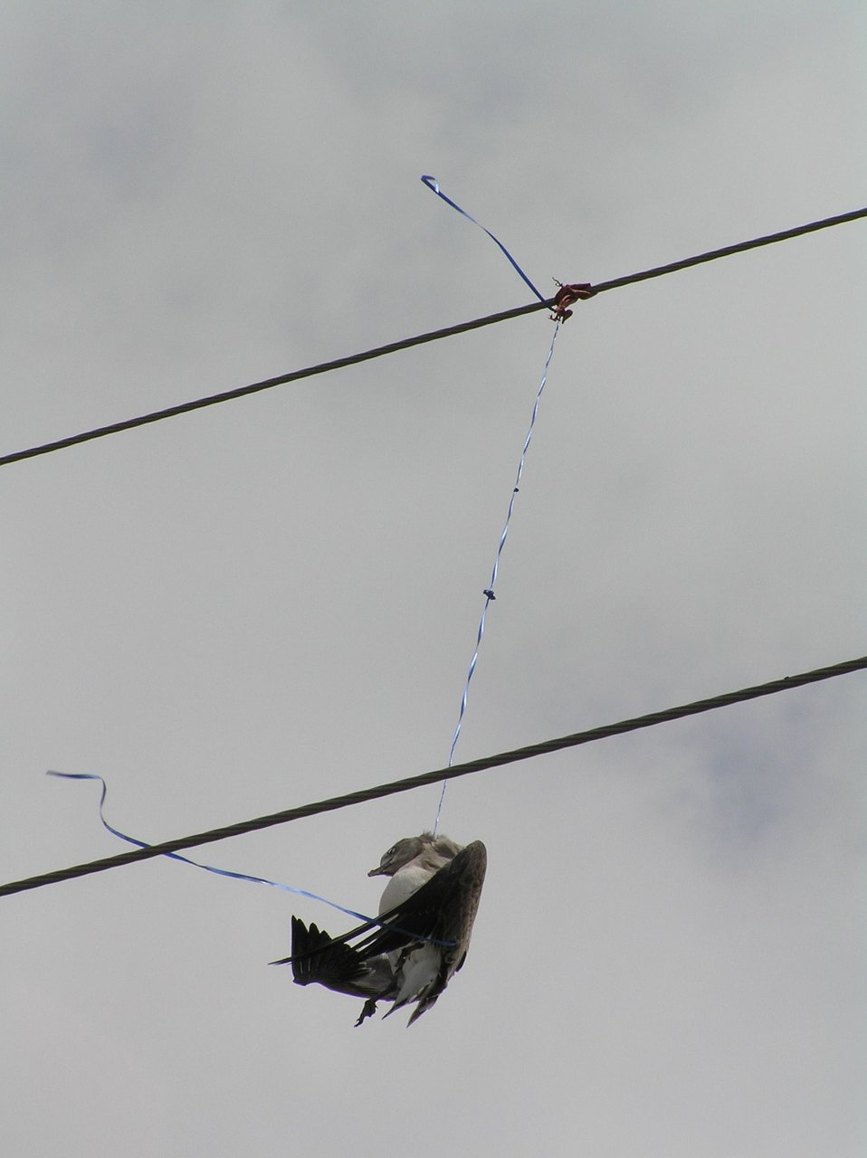 Laughing gull caught in balloon string