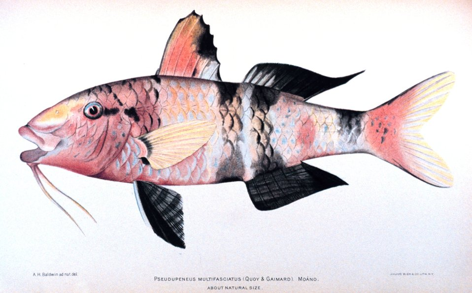 Pseudupeneus multifasciatus (Quoy & Gaimard).  Moano. In: 'The Shore Fishes of the Hawaiian Islands, with a General Account of the Fish Fauna', by David Starr Jordan and Barton Warren Evermann. Bulletin of the United States Fish Commission, Vol. XXIII,