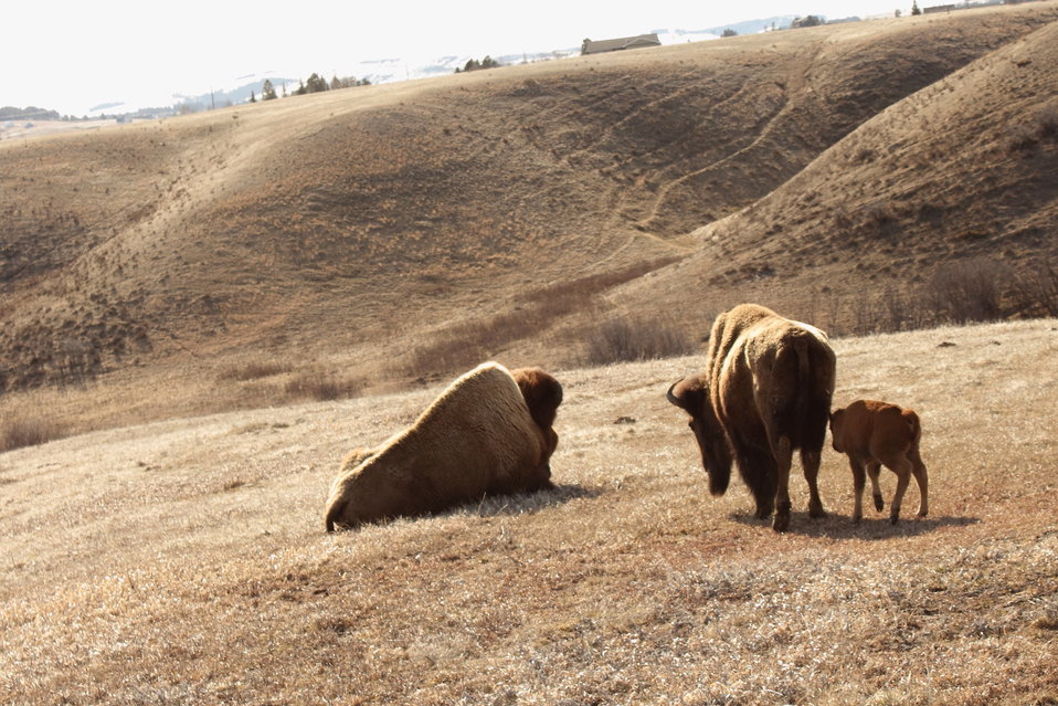 Bison Family in Montana