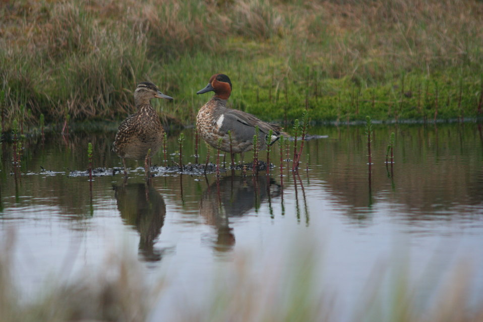 Green-winged Teal pair