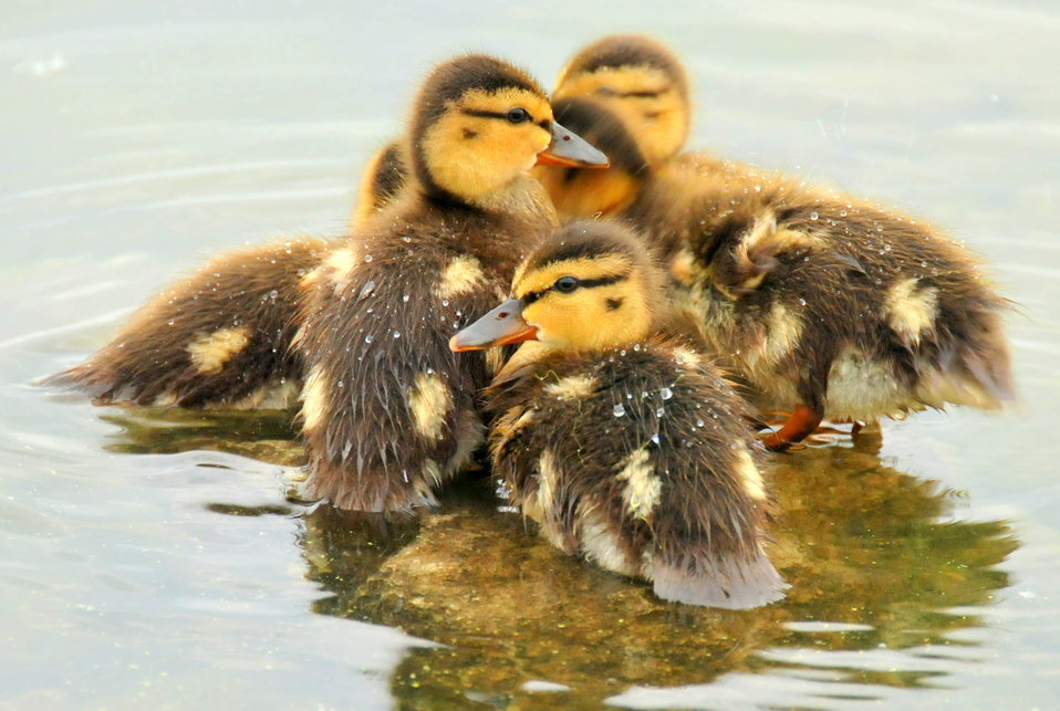 Mallard Ducklings 2