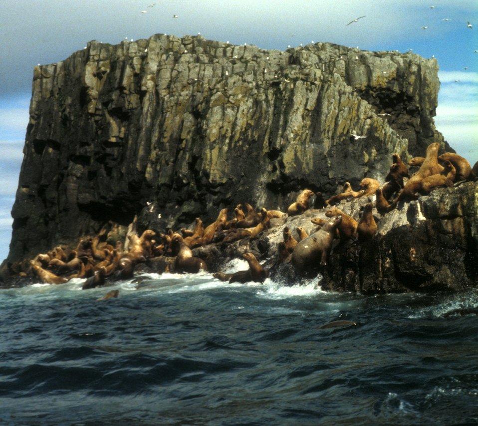 Steller seals, Alaska Maritime NWR
