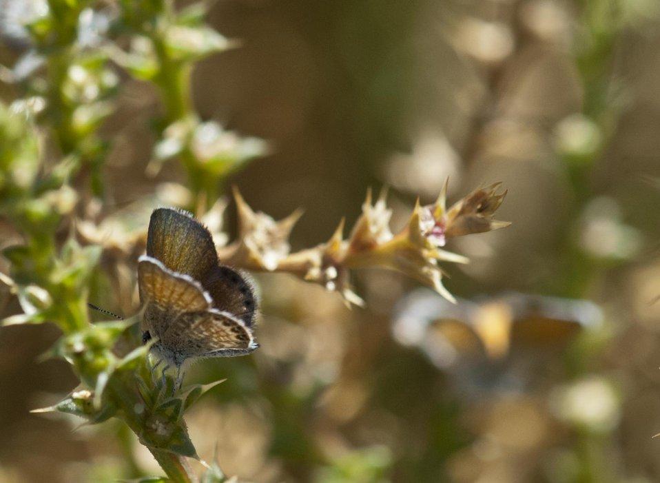 Western Pygmy Blue Butterfly 1
