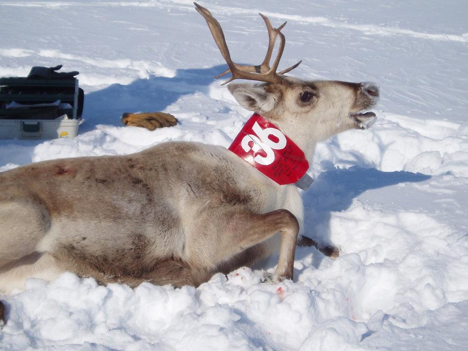 Collared Caribou