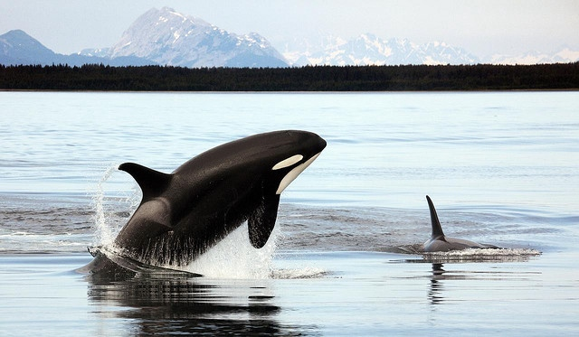 orcas in Alaska waters