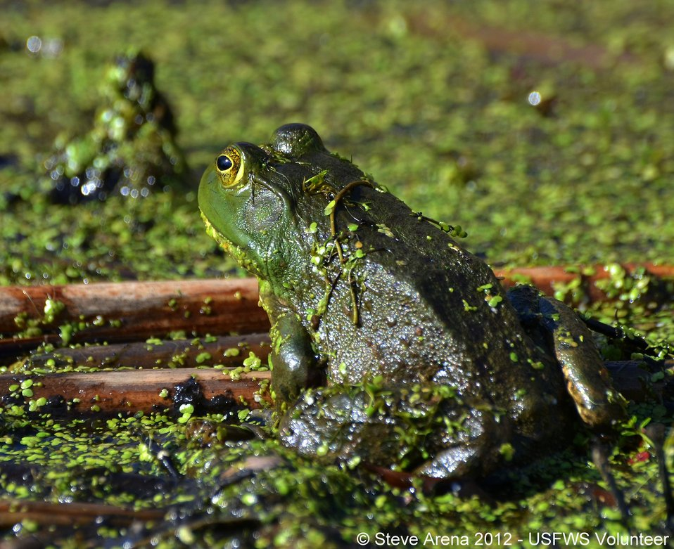 American Bullfrog (Rana catesbeiana) Upper Pool Marshbird Survey, 05 May 2012
