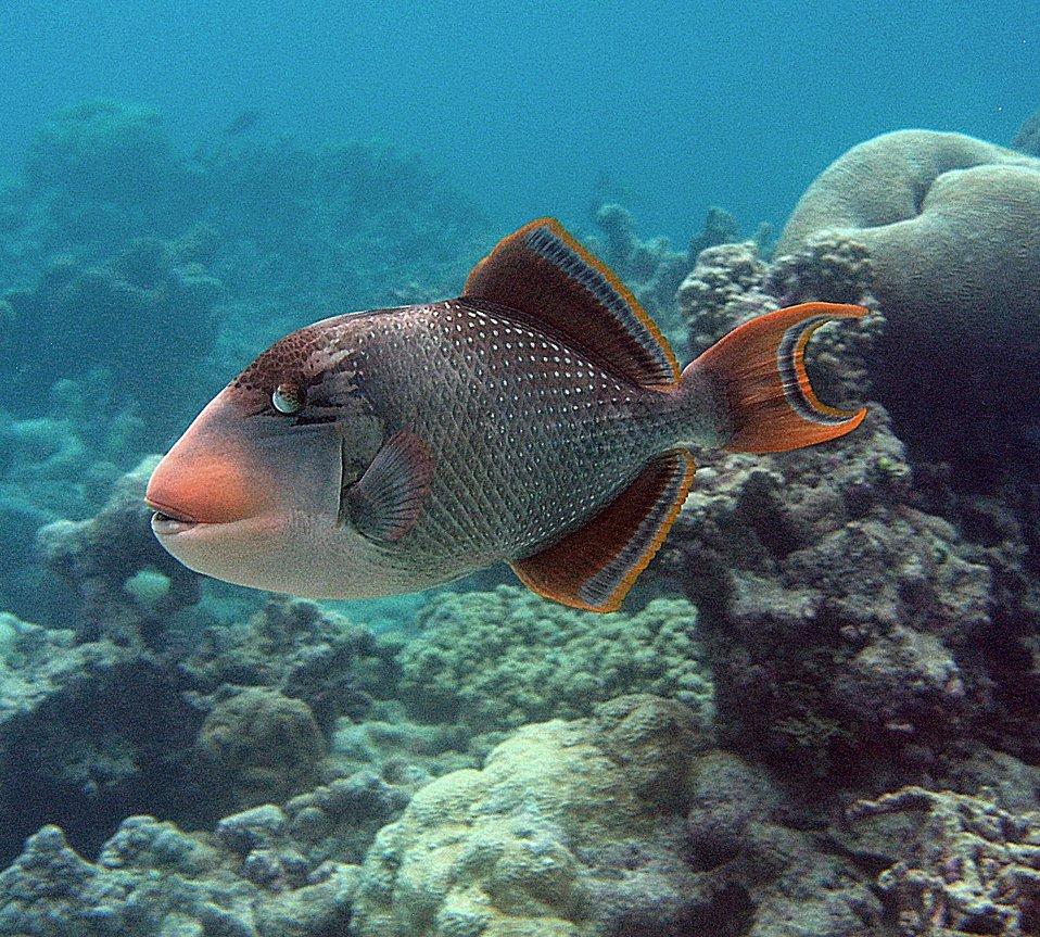 Yellow-margin triggerfish at Palmyra Atoll NWR
