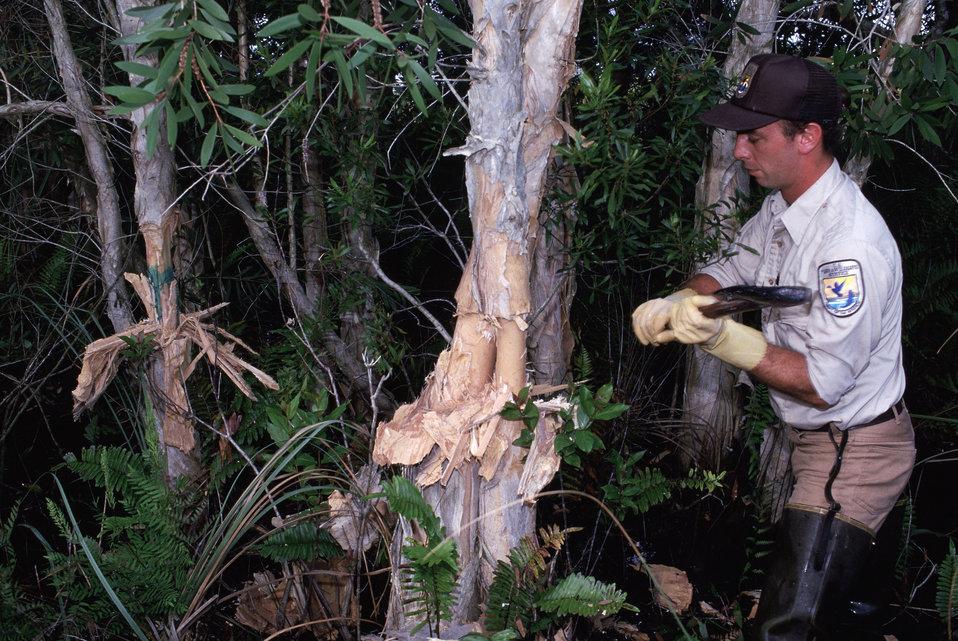 Controlling exotic melaleuca