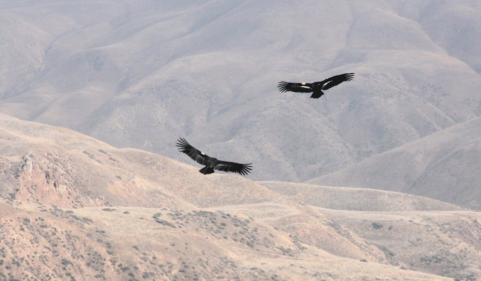 A pair of condors in Flight