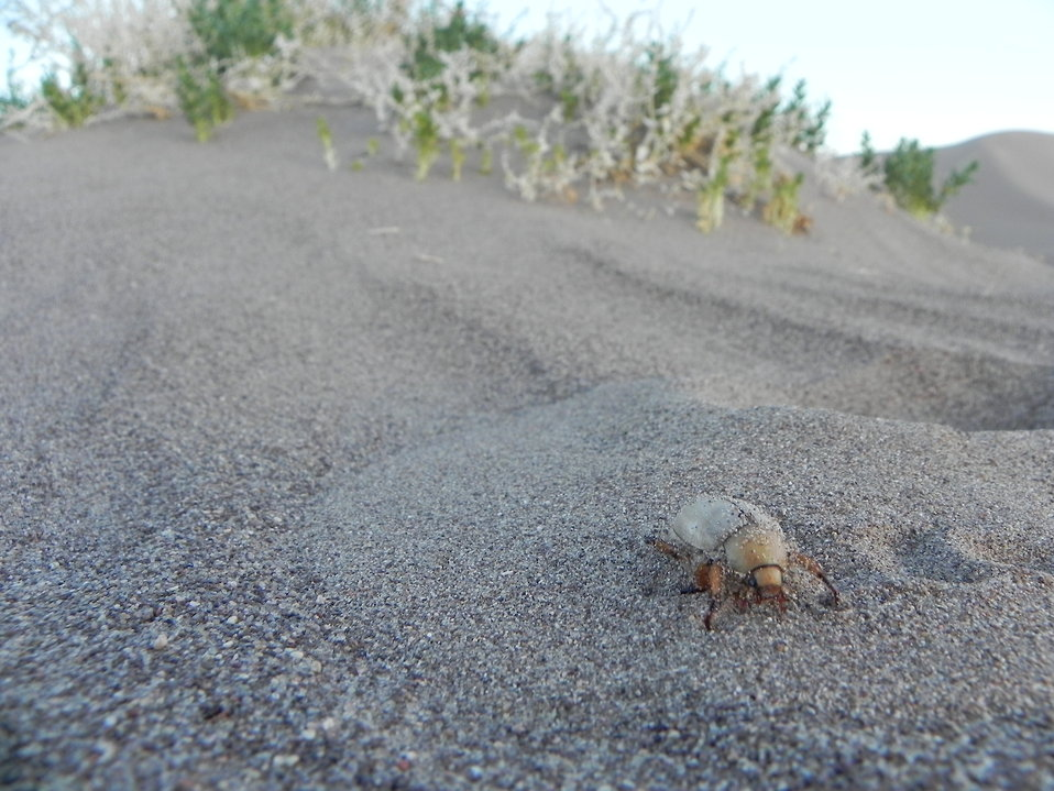 Giuliani's dune scarab