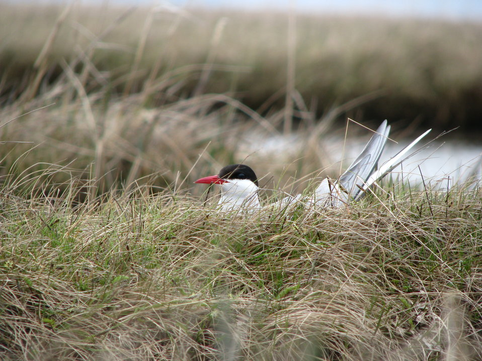 Arctic tern on nest