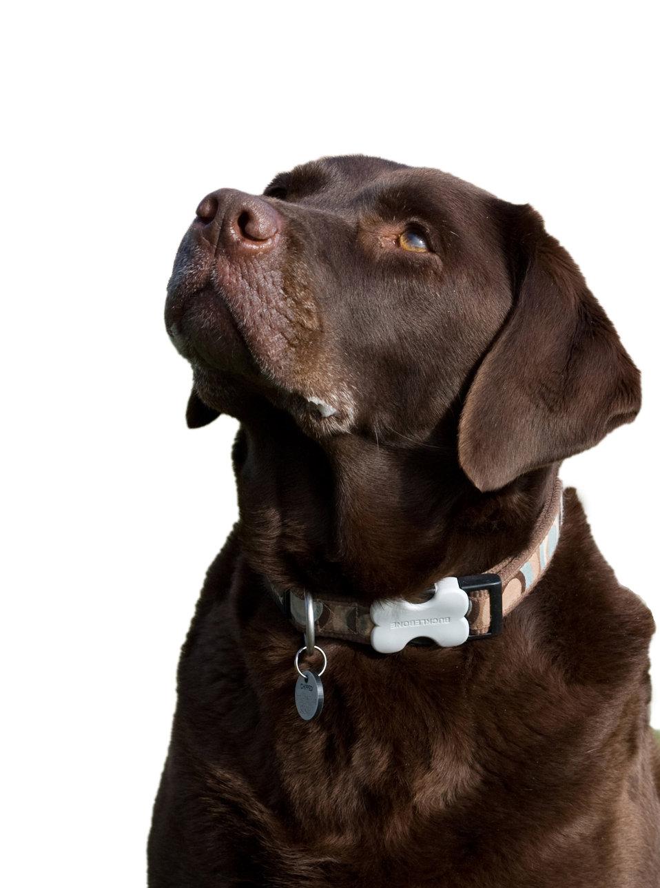 Labrador dog isolated
