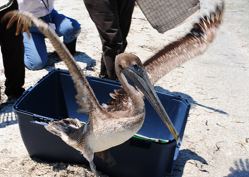 Brown Pelican Released by USFWS