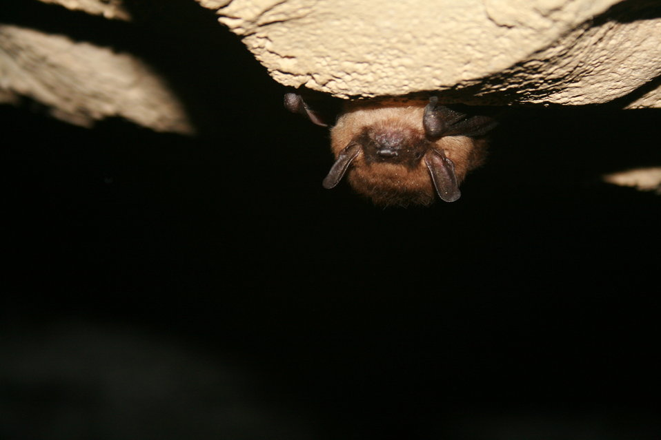 healthy hibernating big brown bat