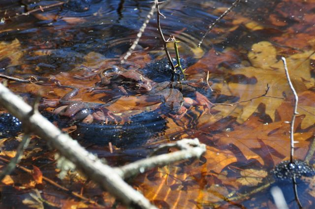 Frogs in the Kettle Pond vernal pool