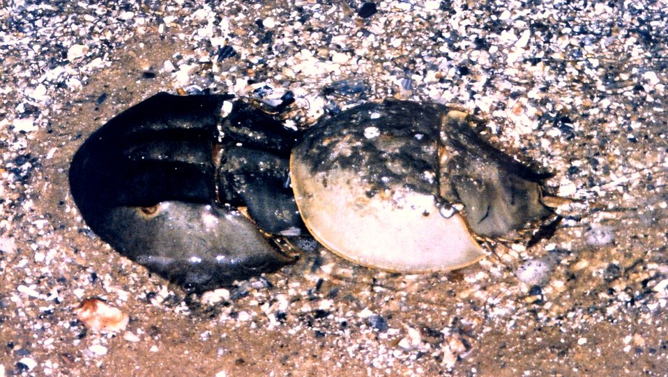 Class B pair of horseshoe crabs.