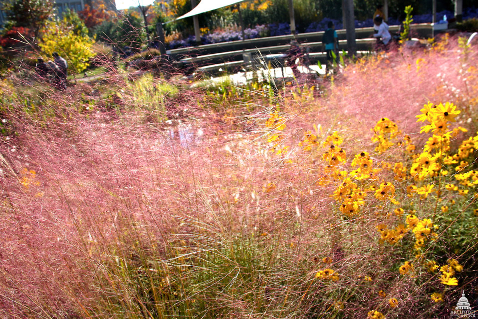 Purple muhly grass at the National Garden
