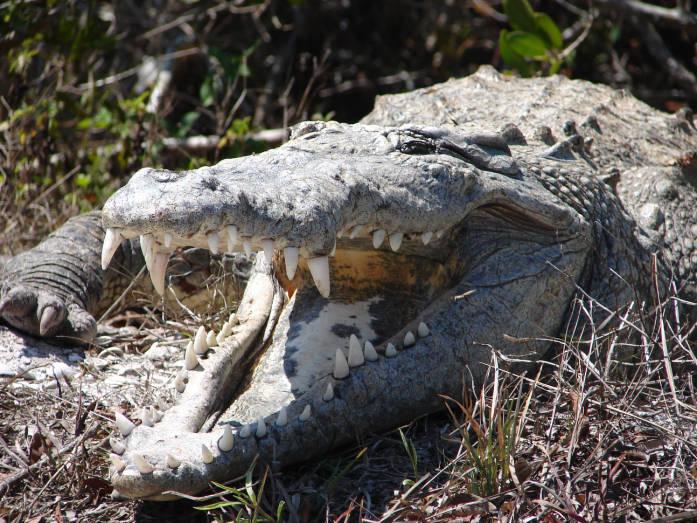 American crocodile, J.N. 'Ding' Darling National Wildlife Refuge