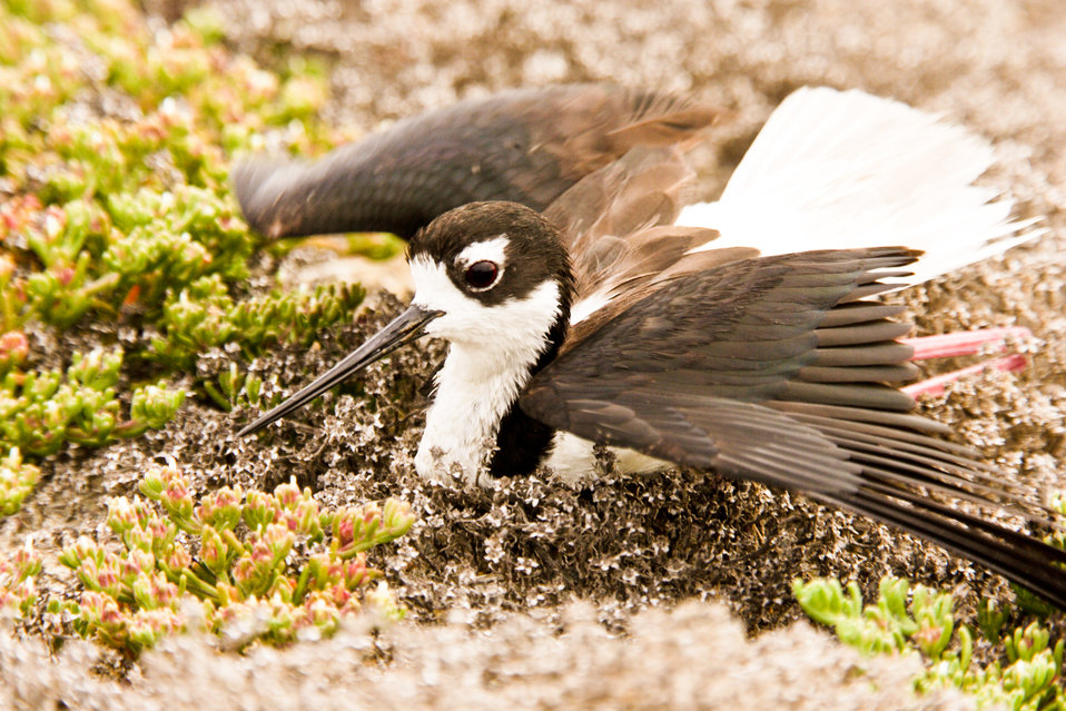 Black-necked stilt exhibiting a 'broken wing' display