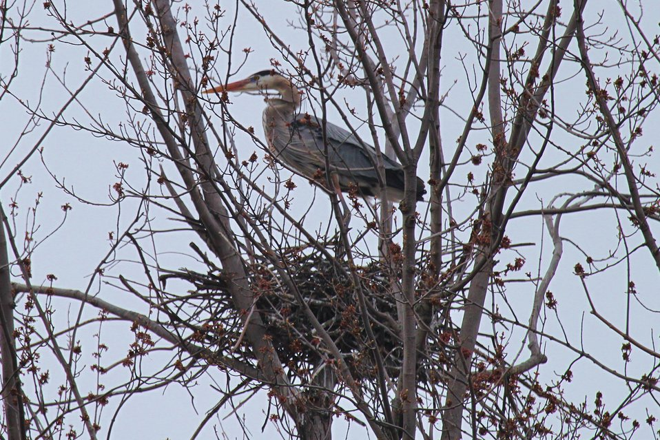 Great blue heron in nest