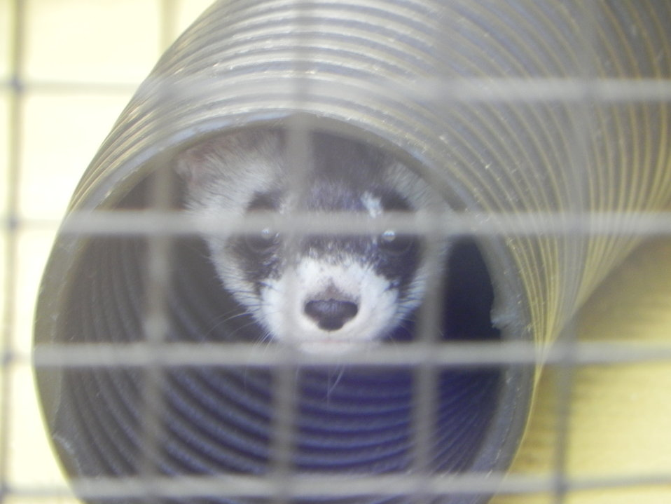 Black-footed Ferret Breeding Center at the Phoenix Zoo