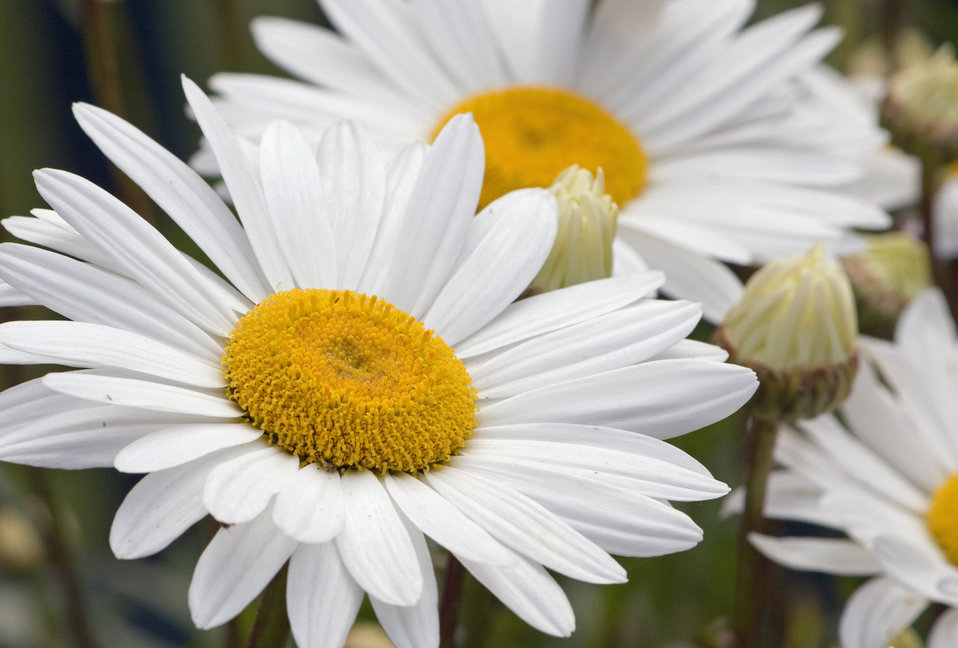Daisy flowers white