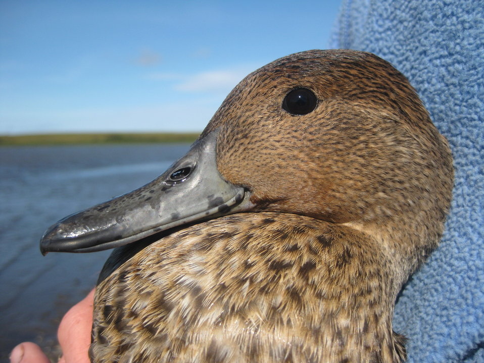 Adult Female Pintail