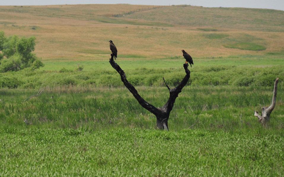 Bald Eagle Fledglings Lacreek NWR 2
