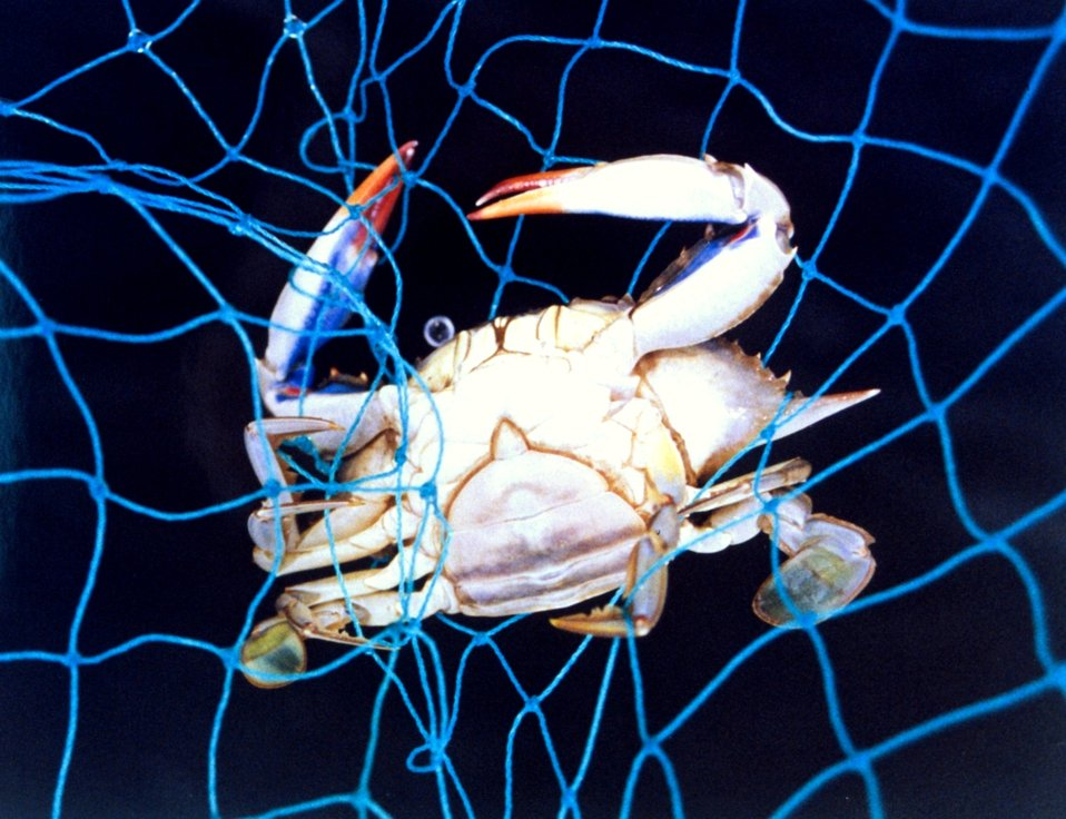 A mature blue crab, Callinectes sapidus, captured in a net.