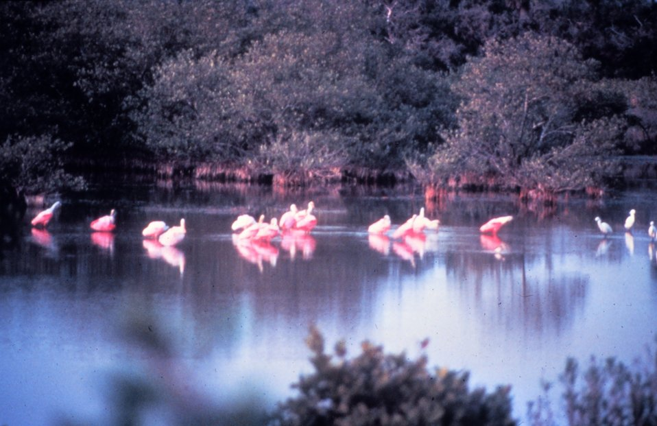 Roseate spoonbills - Ajaia Ajaja - can be seen feeding in the salt marsh areas of Canaveral National Seashore during the spring and fall.  The Roseate  spoonbill is Florida's only native pink bird, the flamingo is not native and if  found in the wild is