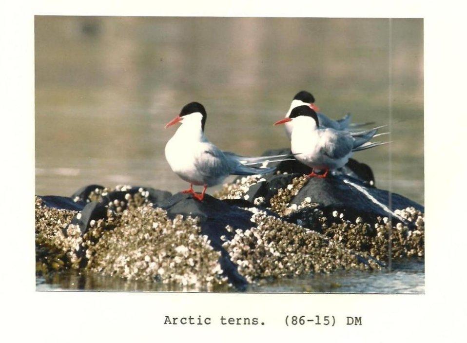 (1986) Arctic Terns