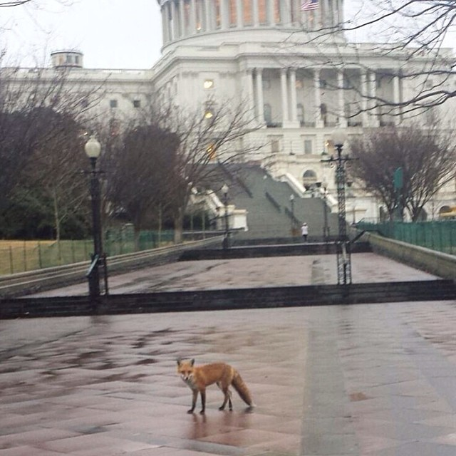 AOC Capitol Grounds crew spotted this Capitol visitor this morning.