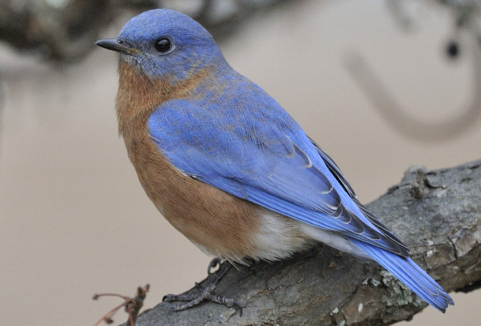 Photo of the Week - Eastern Bluebird (MA)