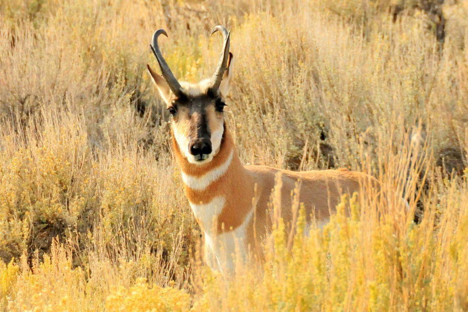 Pronghorn Buck Seedskadee NWR 4