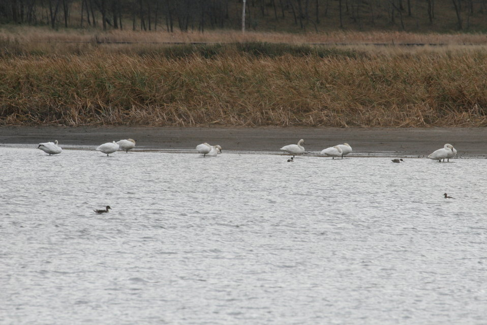 Fall on the Refuge - Tundra Swans at Rest