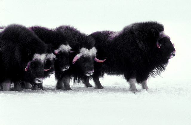 muskoxen bull and cows protecting the calves