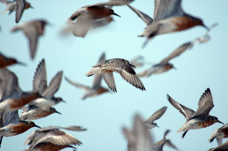 Red Knot in Flight