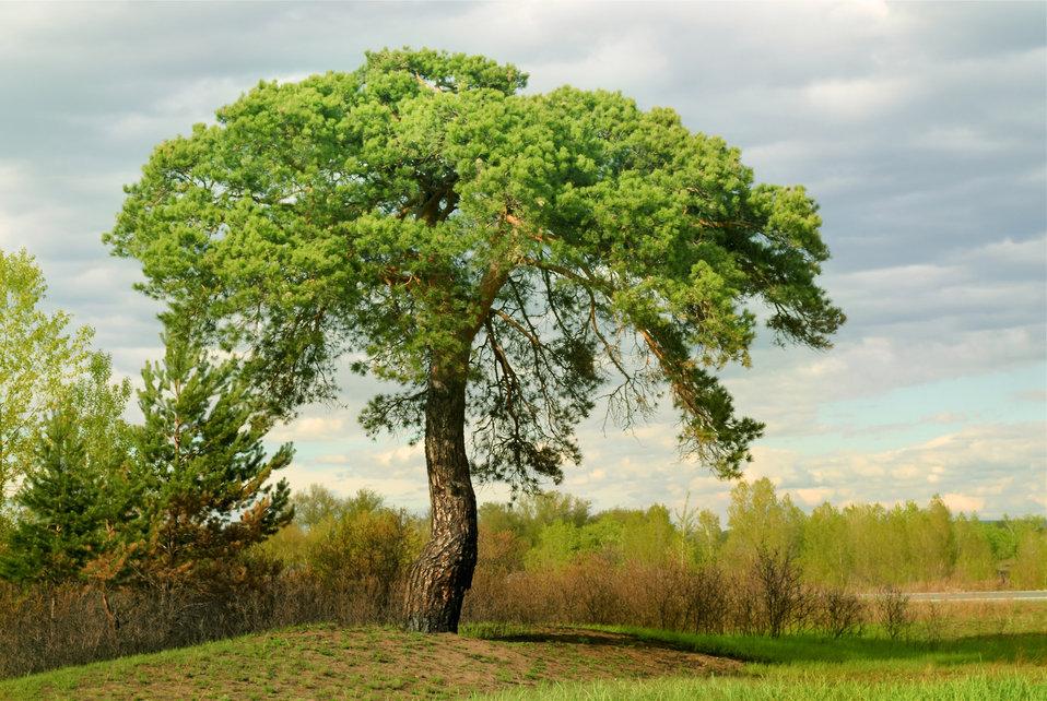 A pine tree in a field